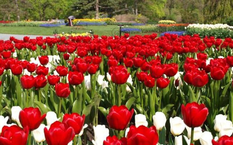 Tulip Garden, Albany