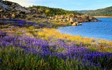 Lupine at Folsom Lake